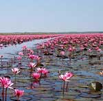 Pink lotus lake Thailand